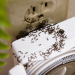 Learn About Sugar Ants: How To Get Rid Of Sugar Ants