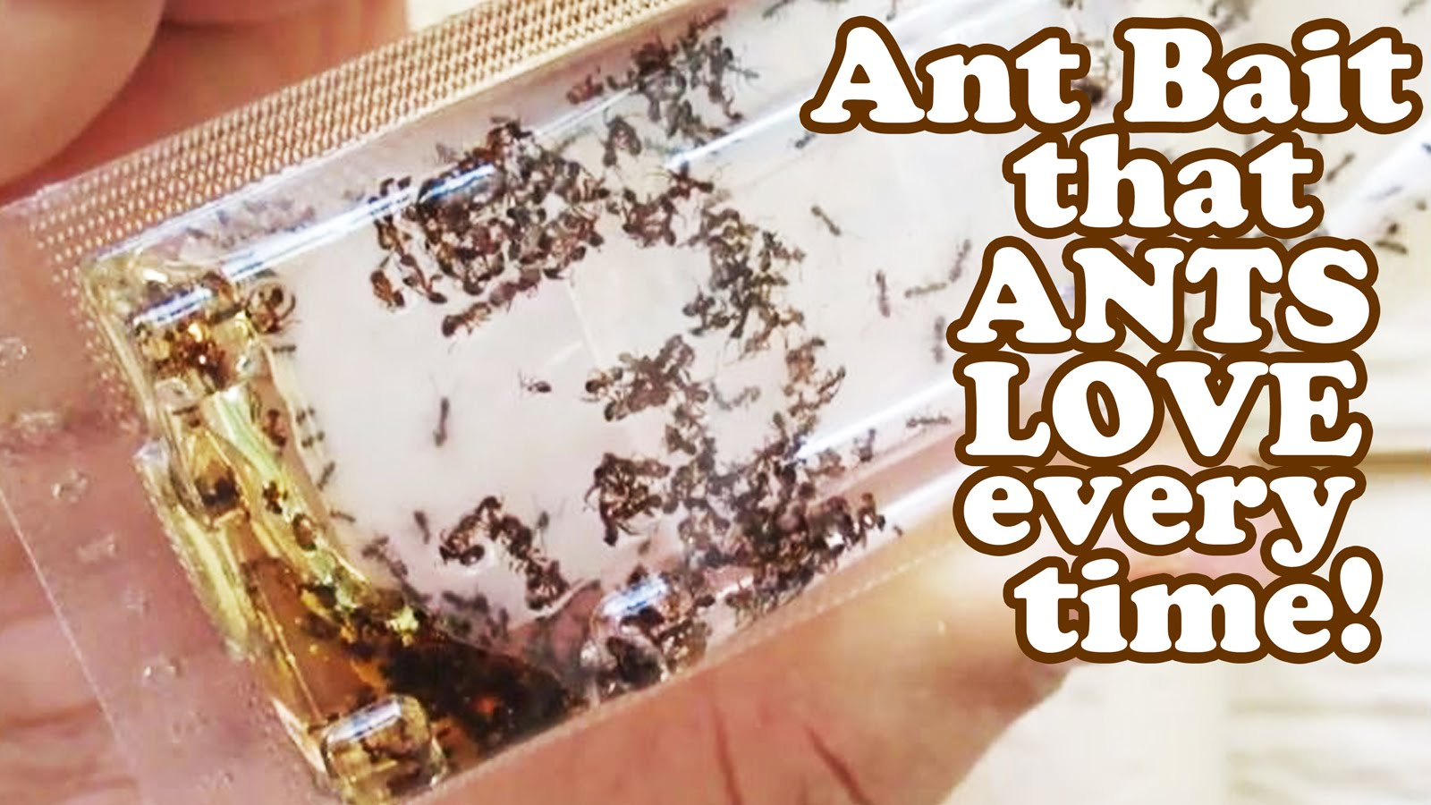 How To Get Rid Of Sugar Ants How To Get Rid Of Sugar Ants In Kitchen