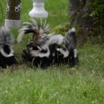 How to keep skunks away