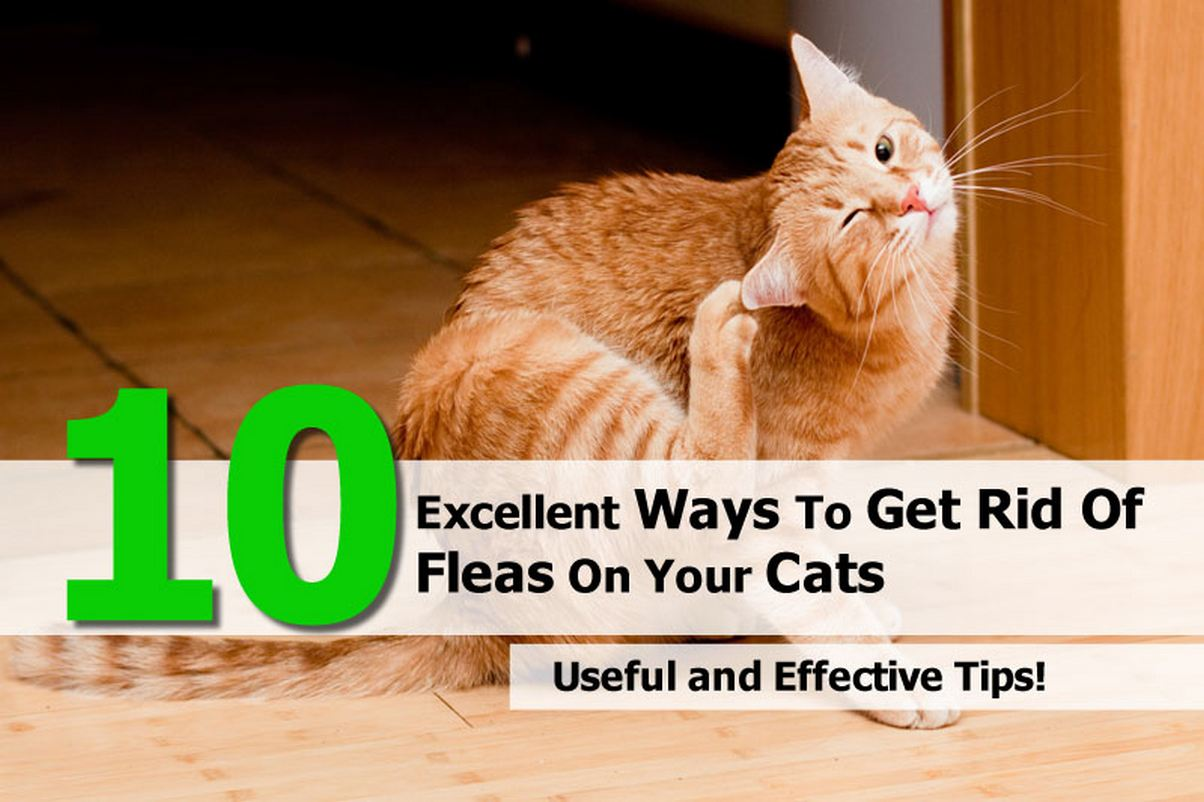 How To Rid My House Of Cat Fleas